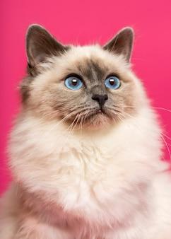 Zbliżenie kota birmańskiego