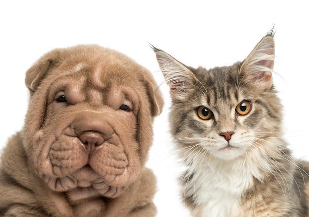 Zbliżenie: kotka maine coon i szczeniak shar pei patrząc w kamerę