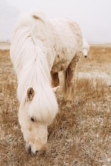 Zbliżenie kremowego konia zjada żółtą suchą ośnieżoną trawę na polu piękna biel