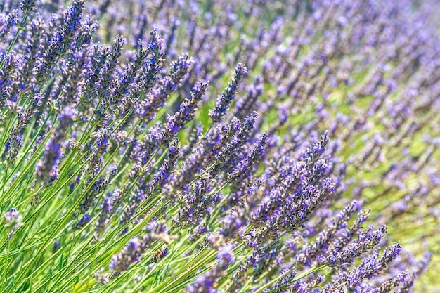 Zbliżenie krzaki lawendowi kwiaty w lecie blisko valensole