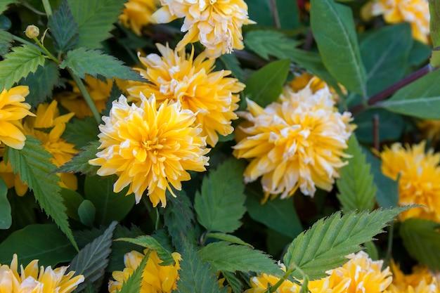 Zbliżenie krzewu kerria japonica pleniflora
