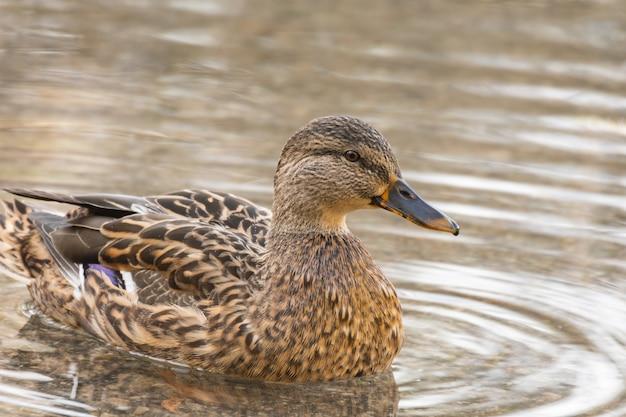 Zbliżenie krzyżówki lub dzikiej kaczki. anas platyrhynchos.