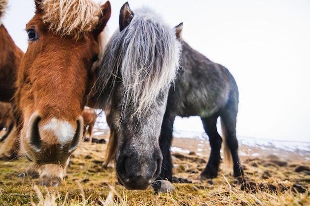 Zbliżenie kucyków szetlandzkich w polu pokryte trawą i śniegiem pod zachmurzonym niebem w islandii