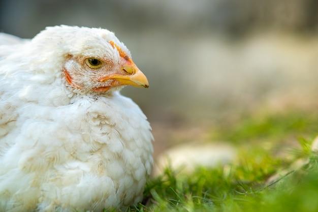 Zbliżenie kurczaka stojącego na podwórku stodoły z zieloną trawą.