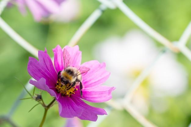 Zbliżenie: kwiat bzu i trzmiel na pyłku, selektywne fokus