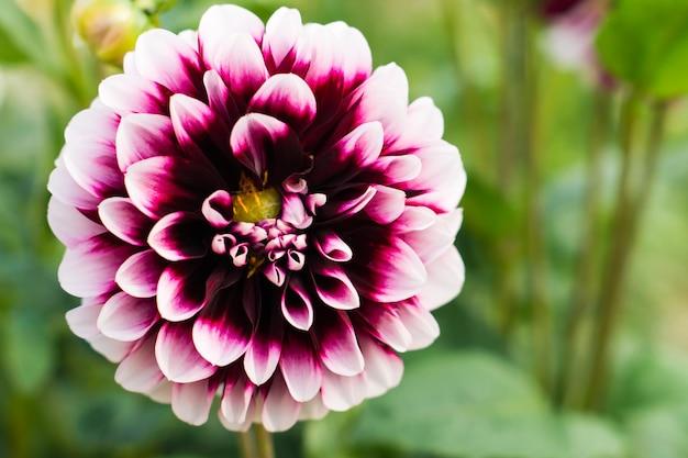 Zbliżenie kwiat dalii na tle naturalnych liści ogrodu.