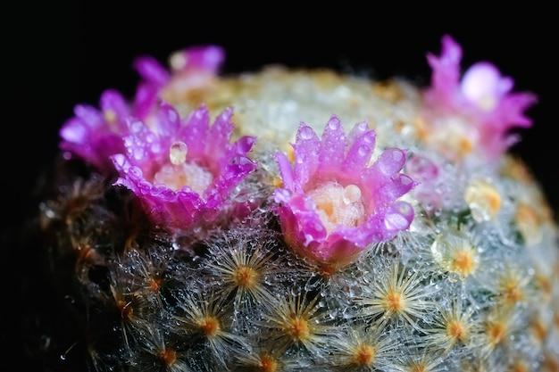 Zbliżenie kwiat kaktusa z kroplą wody