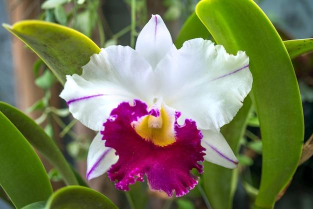 Zbliżenie kwiat orchidei cattleya w ogrodzie
