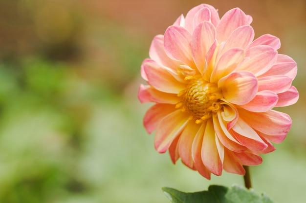 Zbliżenie kwiat róż z rozmytym tłem przyrody w ogrodzie na świeżym powietrzu