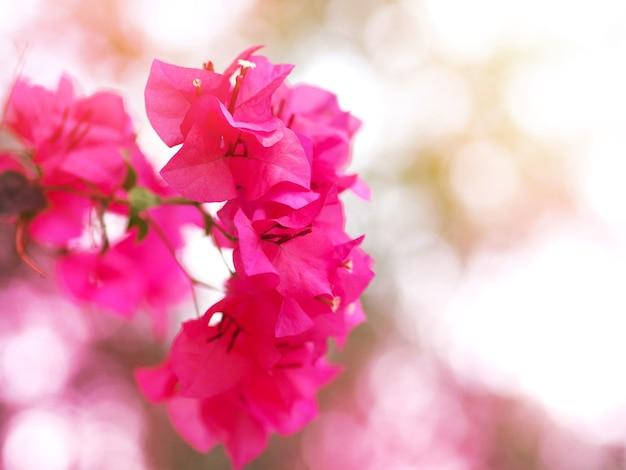 Zbliżenie kwiat różowy bougainvillea