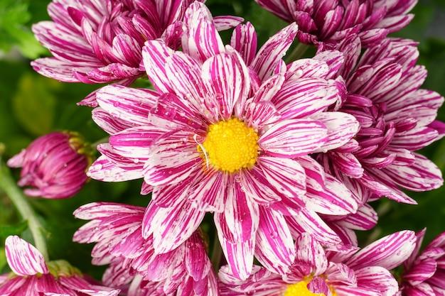 Zbliżenie kwiatów chryzantemy z różowymi płatkami.