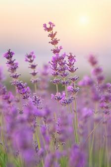 Zbliżenie kwiatów lawendy.
