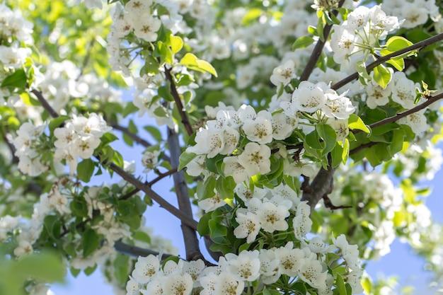 Zbliżenie kwiatów na kwitnącej jabłoni