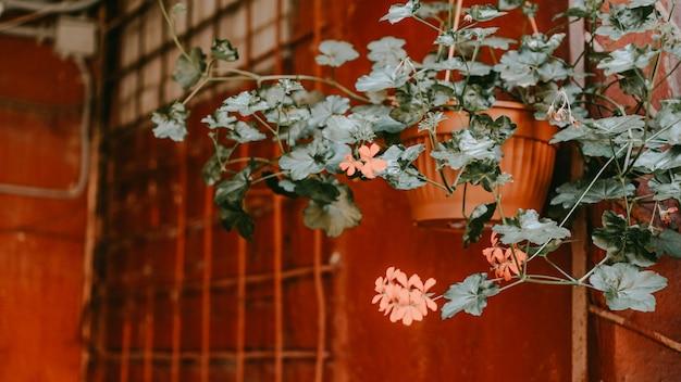 Zbliżenie kwiatów na starym czerwonym dziedzińcu. mińsk białoruś - czas letni