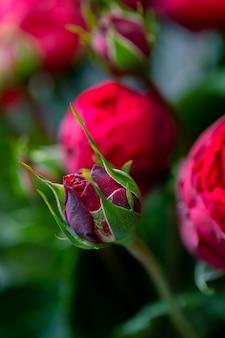 Zbliżenie kwiatów róż i miejsca na tekst.
