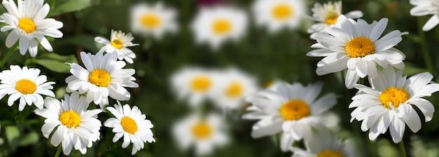 Zbliżenie kwiatów rumianku w tle