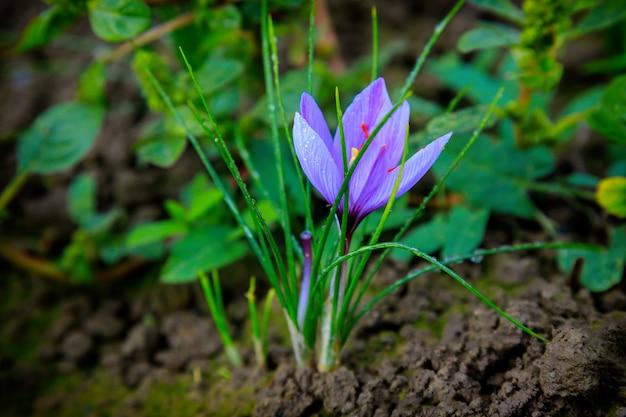 Zbliżenie kwiatów szafranu na polu w czasie żniw