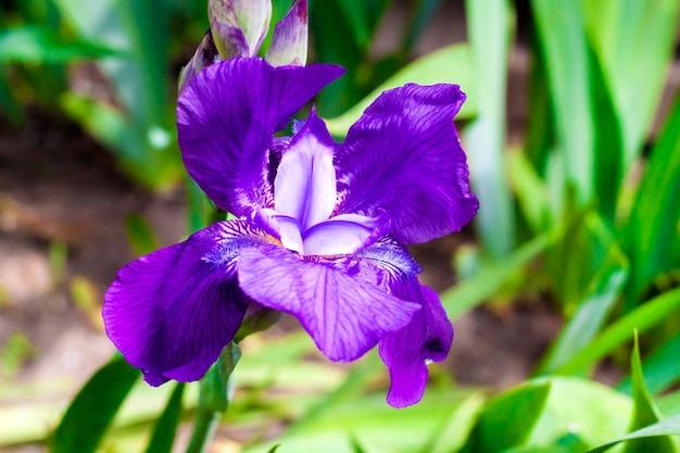 Zbliżenie kwiatu fioletowego irysa na zielonej powierzchni ogrodu w słoneczny dzień