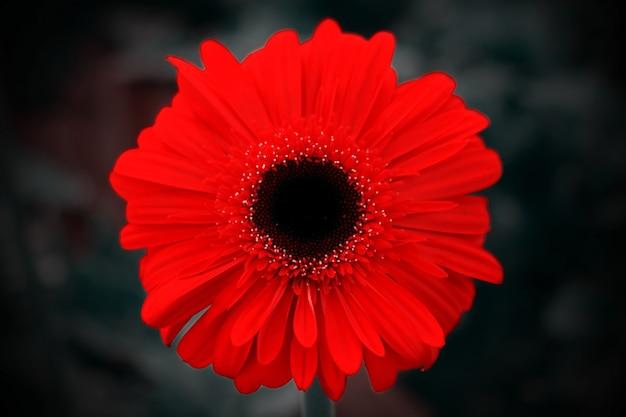 Zbliżenie kwiatu ored gerbera na ciemnym tle