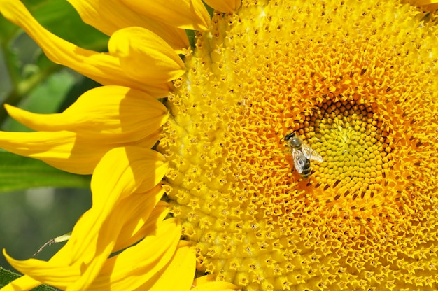 Zbliżenie kwiatu słonecznika z osą owadów