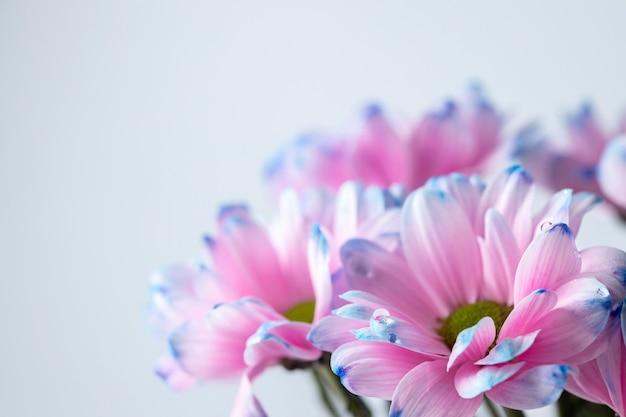 Zbliżenie kwiaty różowe i niebieskie chryzantemy