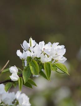 Zbliżenie kwitnąca gałąź z białymi kwiatami
