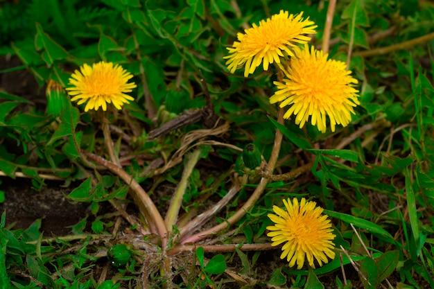 Zbliżenie Kwitnące Mlecze Premium Zdjęcia