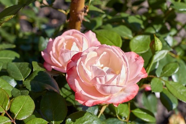 Zbliżenie kwitnące wiosenne główki kwiatów wiśni w ogrodzie