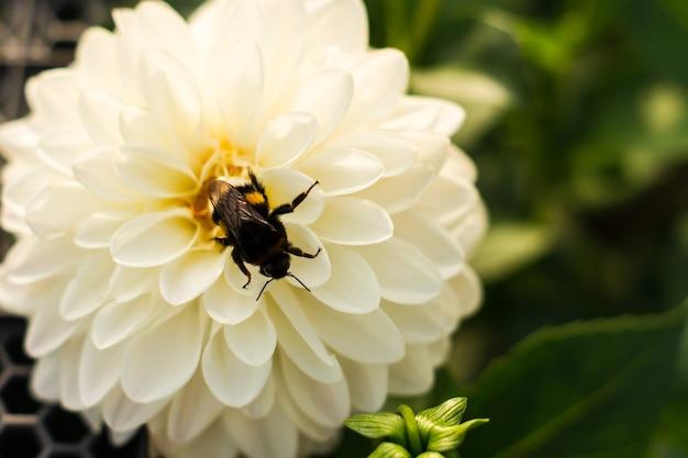Zbliżenie kwitnącej, białej, delikatnej dalii z trzmielem pośrodku kwiatu.