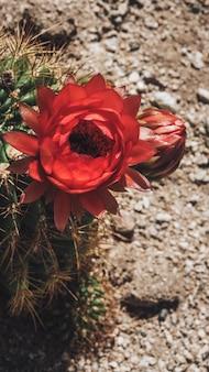 Zbliżenie kwitnący czerwony kwiat kaktusa tapety na telefon komórkowy