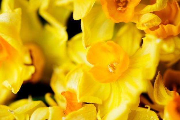 Zbliżenie kwitnący jonquil kwiat