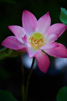 Zbliżenie kwitnący różowa lilia wodna