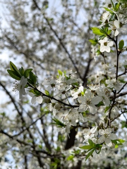 Zbliżenie kwitnących gałęzi drzew wiosną na niewyraźne tło.