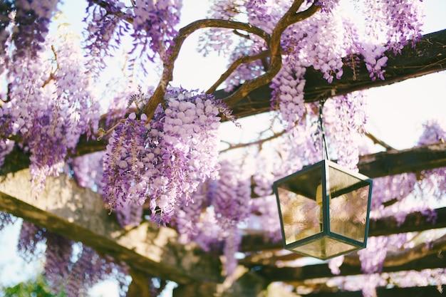 Zbliżenie kwitnących glicynii na drewnianych belkach przez wiszącą latarnię uliczną.
