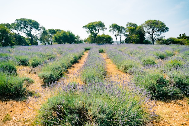 Zbliżenie kwitnących krzewów lawendy na polu