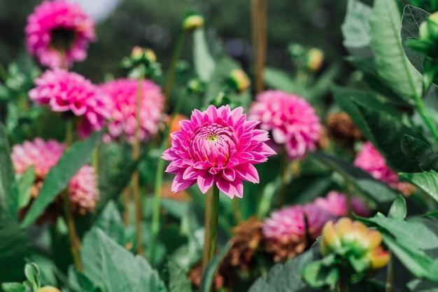 Zbliżenie kwitnących kwiatów dalii w zieleni