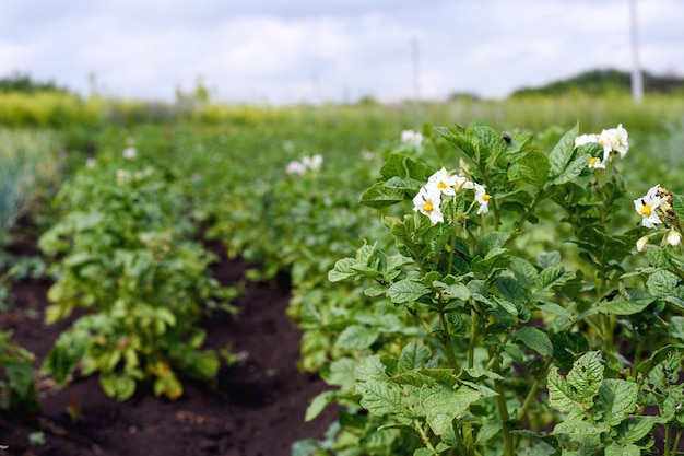 Zbliżenie kwitnących młodych ziemniaków na plantacji w ogrodzie, efekt perspektywy