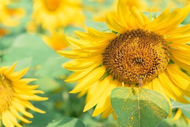 Zbliżenie kwitnących żółtych słoneczników