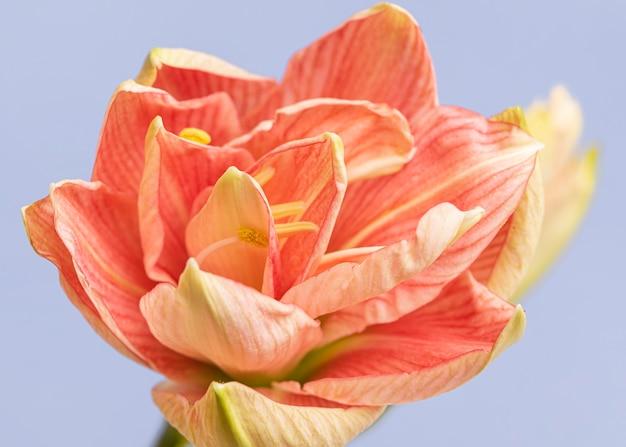 Zbliżenie ładny kwiat brzoskwiniowy