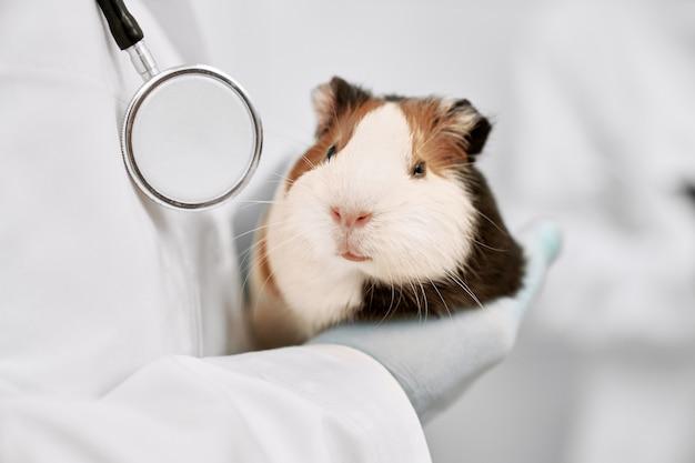 Zbliżenie ładny, ładny chomik biały i brązowy. weterynarz, trzymając w rękach małe piękne zwierzątko. biały unifrom, rękawiczki i stetokop u lekarza weterynarii.