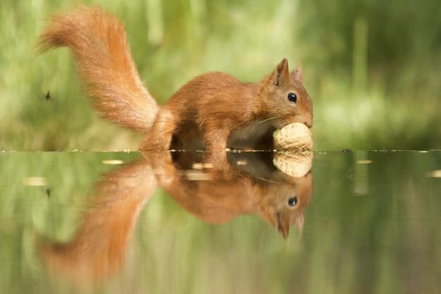 Zbliżenie ładny lis wiewiórka