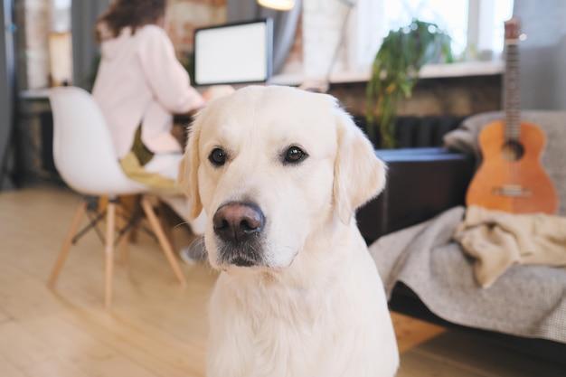 Zbliżenie: ładny piękny labrador siedzi w domu, a jego właściciel pracuje w tle
