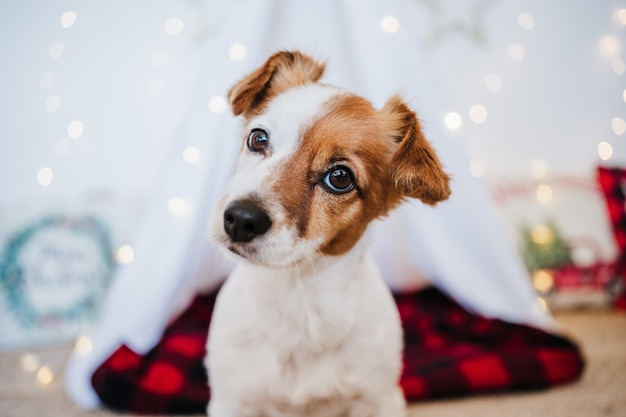 Zbliżenie ładny pies jack russell w domu z dekoracją świąteczną. czas świąt