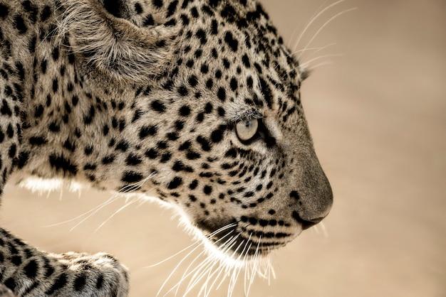 Zbliżenie lamparta w parku narodowym serengeti