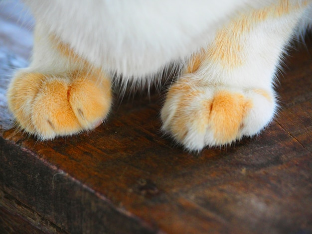 Zbliżenie łapa kota na drewnianej podłodze, łapa kota na drewnianym vintage