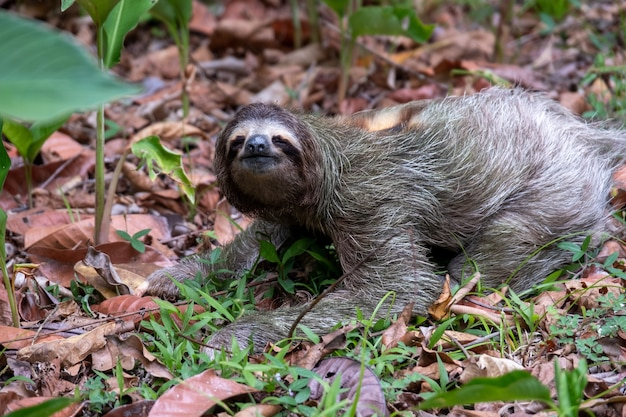 Zbliżenie leniwiec dwupalczasty na ziemi pokrytej liśćmi i trawą w słońcu w ciągu dnia