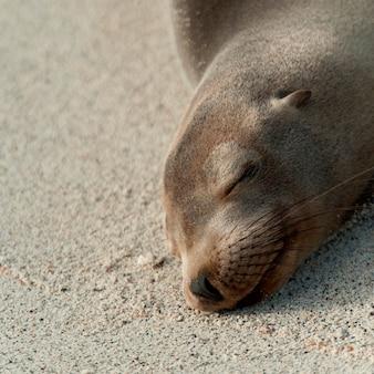 Zbliżenie: lew morski z galapagos (zalophus californianus wollebacki) odpoczynek, wyspa genovesa, wyspy galapagos, ekwador