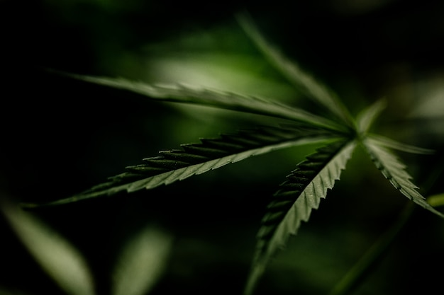 Zbliżenie liść marihuany