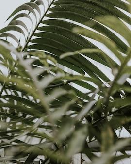 Zbliżenie liści palmowych areca