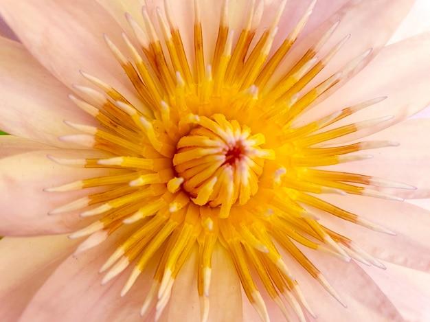 Zbliżenie lotosowego pyłku